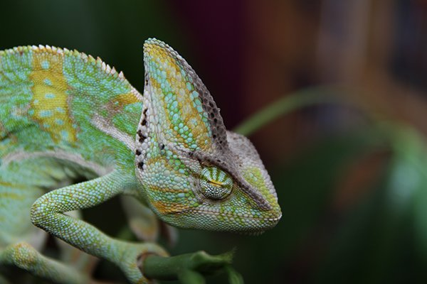 sleeping-chameleon-yemen-chameleon-reptile-animal-64270